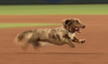 Inspirational Wiener Dog Refuses to Exit Field After El Paso Chihuahuas Wiener Dog Race (Video)