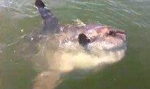 Boston Man Freaks the F%#& Out Over a Sunfish, Becomes Internet Sensation (Video)