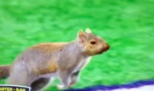 Squirrel Steals the Show During Vikings-Packers Game (Video)