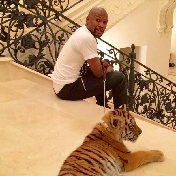 floyd mayweather eaten by tiger