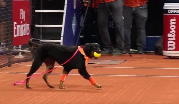 Ball Dog - Brazil Open