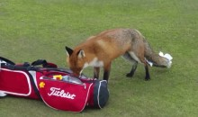 Fox Rummages Through Golfer's Bag, Steals His Wallet (Video)