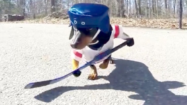 wiener dogs playing hockey