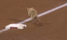Cat on the Field at Angels-Cardinals Game Gets Announcers All Fired Up (Video)