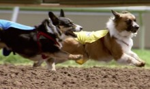 Forget Wiener Dog Racing, Corgi Racing Is Your New Favorite Kind of Weird Dog Racing (Video)