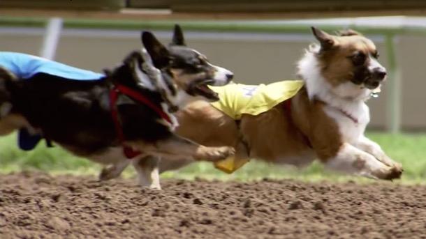 corgi racing