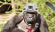 Alabama Hockey Team Hosting Harambe Night: 'Sticks Out For Harambe' (Video)