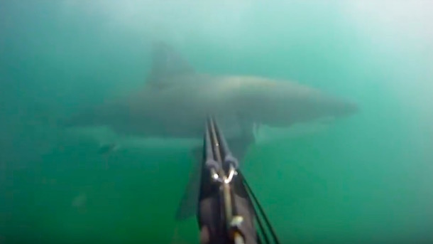 spear-fisherman-close-encounter-great-white-shark-gopro-cam
