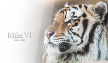 LSU Tiger Mascot Mike VI Dies of Cancer