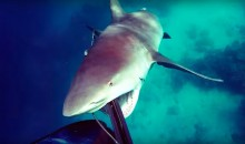 Insane Video: Australian Spearfisher Fends Off Bull Shark Attack (Video)