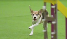 This Beagle at the Westminster Dog Show Won't Be Told What to Do (Video)