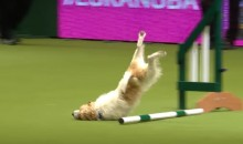 Watch This Jack Russell Terrier's Wonderfully Awful Performance at a Dog Show (Video)