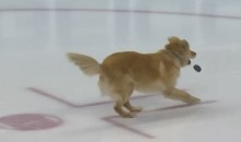 Watch This Golden Retriever Play Fetch On the Ice Before Caps-Coyotes Game (Video)