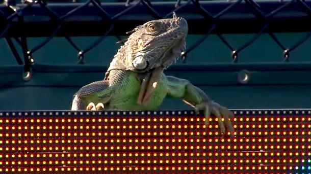 iguana interrupts miami open tennis match