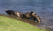 North Carolina Golf Course Hosts Thrilling Battle Between Two Alligators (Video)