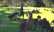 Dozens of Kangaroos Invade a Golf Course, Creating a Tricky Situation for Golfers (Video)