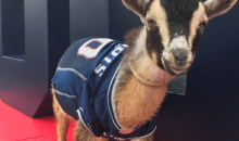 Patriots Celebrate Tom Brady's 40th B-day With 5 Actual Goats In Jerseys