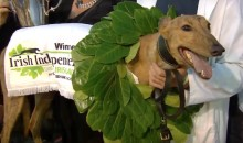 Champion Race Dog Tests Positive for Cocaine (Video)