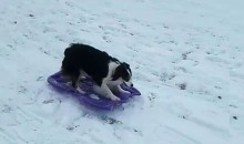 Awesome Dog Goes Sledding On Her Own, Amazes Everyone (VIDEO)