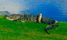 Florida Golfer Photographs Python vs. Gator Death Match on 10th Hole (PICS)