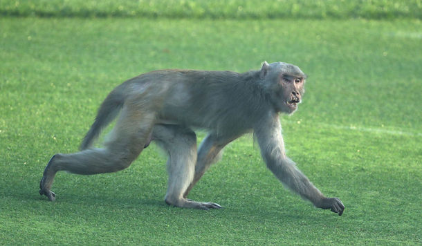 NEW DELHI, INDIA - MARCH 08:  A monkey is seen on the course during day one of the Hero Indian Open at Dlf Golf and Country Club on March 8, 2018 in New Delhi, India.  (Photo by Matthew Lewis/Getty Images)