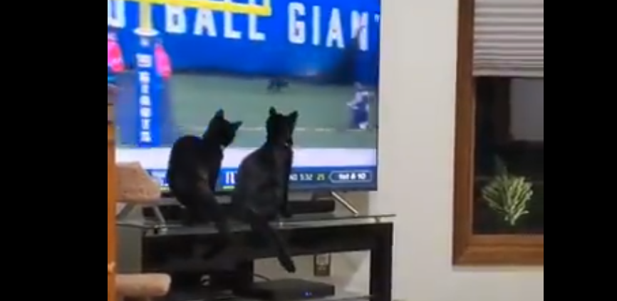 Black Cats At Indianapolis Home Reacted To Black Cat On Monday Night Football Video Total Pro Sports